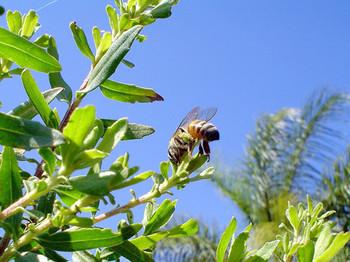 ミツバチが植物を採取してプロポリスは作られます。